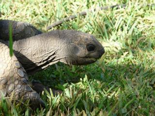 Giant-tortoise-114134_1920