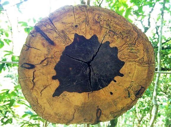 Ebenier-noir-maurice